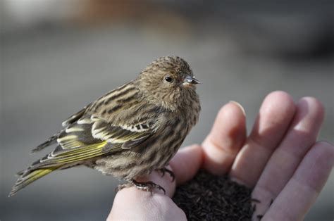 baby pine siskin bird by justindonnelson on deviantart