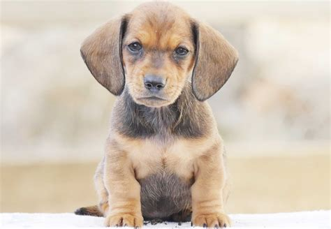 where to sell puppies dachshund puppies for sale chevromist kennels puppies