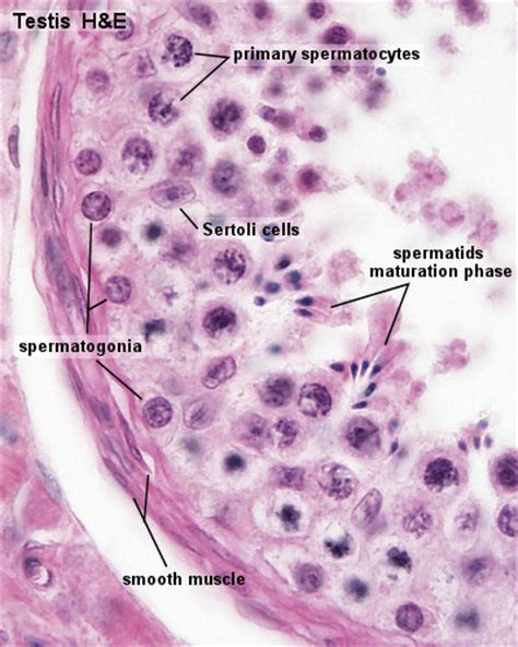testis section anat2241 male reproductive system embryology