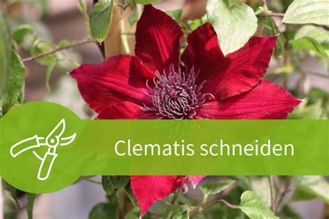 clematis wann pflanzen clematis schneiden anleitungen f 252 r alle 3 schnittgruppen