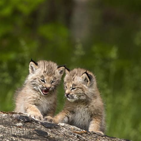 Cute Duvet Covers Two Canada Lynx Lynx Canadensis Kittens Photograph By