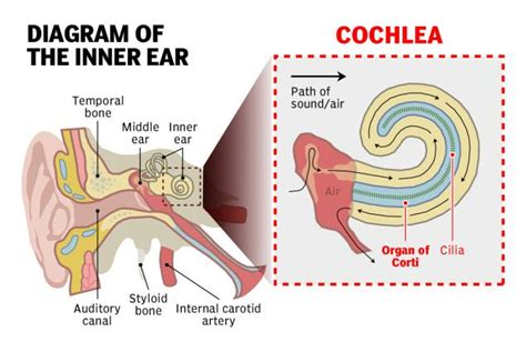 which does the ton go in diagram earbud use increases hearing loss risk study