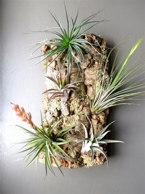 exotic air plants on cork bark for wall mount or display a living piece of art medium size