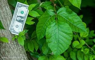 poison ivy in summer the poison ivy poison oak poison
