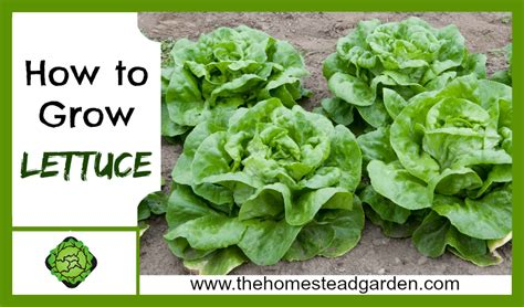 How To Lettuce From Your Garden by How To Grow Lettuce The Homestead Garden The Homestead