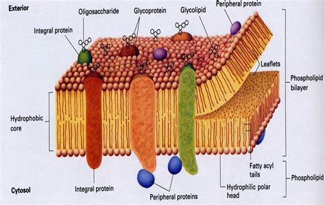 flashcards introduction   cell mosaic membrane