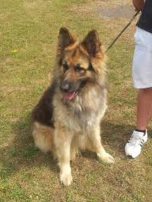 German shepherd long coat dog dartford kent pets4homes