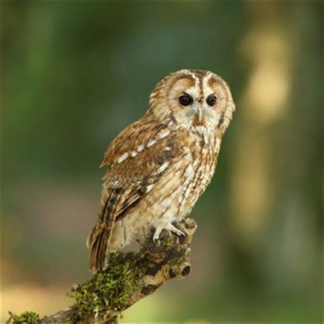 Barn Kit by Tawny Owl Facts Tawny Owl Information Twootz Com