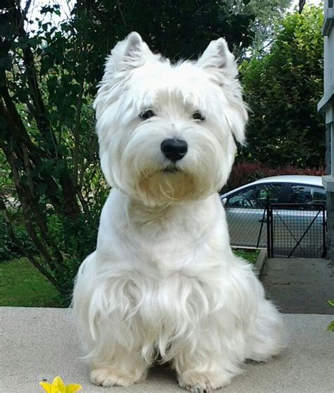 pictures of haircuts for westies dogs like my new hair cut favorite westie pics pinterest