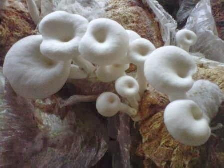 Jual Bibit Jamur Tiram Cikarang berapa sih harga jual jamur tiram dipasaran jual bibit