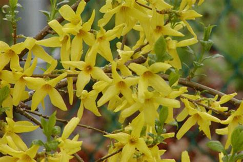 Dark Foliage Plants - landscape service forsythia x intermedia spectabilis