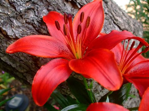 wallpaper flower lily red lily flowers wallpaper 1600x1200 23500