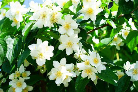 Imagenes De Flores Jasmin | mock orange jasmin flores 183 foto gratis en pixabay