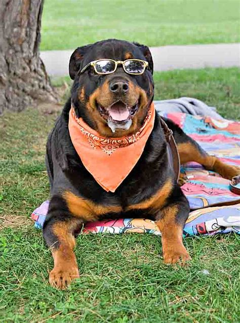 rottweiler names unique rottweiler names for this special breed