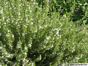 sarriette commune satureja hortensis conseils de culture