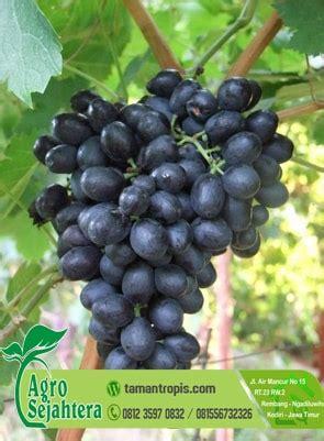 Jual Bibit Anggur Import Di Bandung jual bibit pohon anggur harga grosir