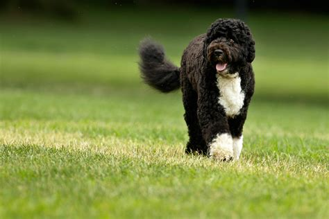 obama dogs redirecting to post 370082 uova di pasqua anche il di obama avra il suo