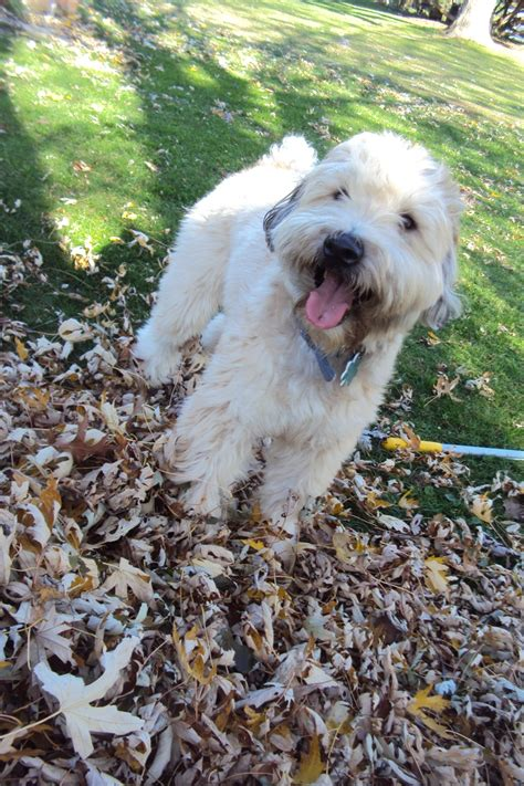 83 best images about soft coated wheaten terrier on