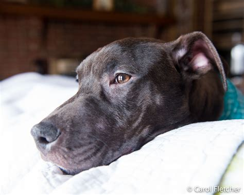canine coughing the dog daily preventing kennel cough and avoiding canine influenza
