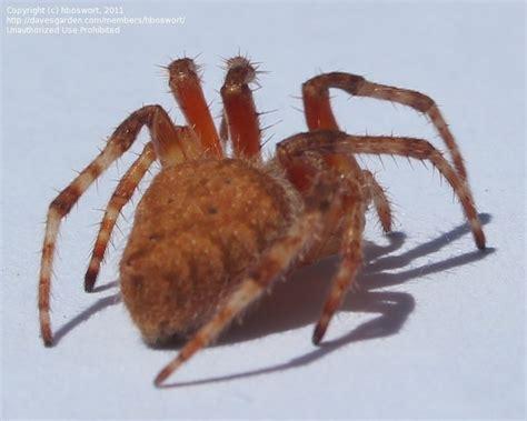 Garden Spider San Diego Insect And Spider Identification Identify Brown San Diego