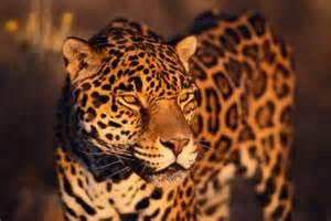 Jaguar Animals Facts National Geographic Jaguar Facts Jd Jaguar