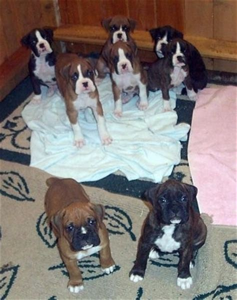 8 week boxer puppy boxer puppies for sale boxer breeders invitations ideas