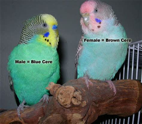 Buys A Parakeet by Budgerigars Birds In Sri Lanka