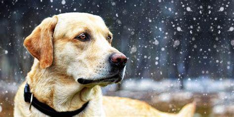 il labrador un da appartamento docile da appartamento spazio natura animali cani
