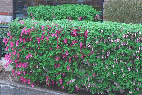 hedging plants hedges garden screens for garden boundaries