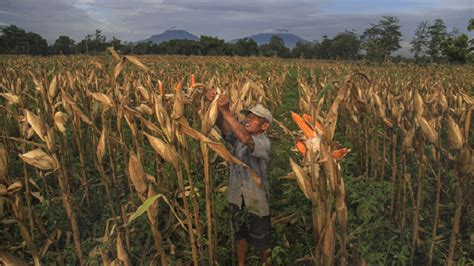 Bibit Jagung Dk 77 500 hektare tanaman jagung milik gempita siap panen