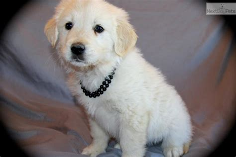 golden pyrenees puppies for sale snow great pyrenees puppy for sale near dallas fort worth 6724ff72 ac81