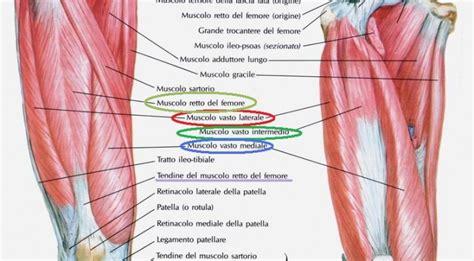 tendine interno coscia anatomia muscoli della coscia prima parte gruppo