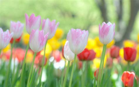 fiori wallpaper tulips flower focus flowers nature macro photos