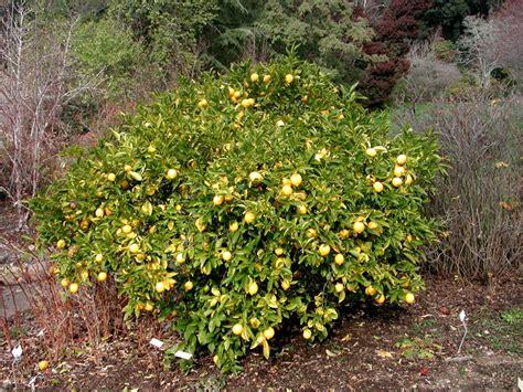 lemon tree testo file lemon tree berkeley jpg