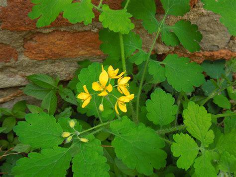 pianta ricante con fiori pianta ricante con fiori gialli perenne immagini fiori