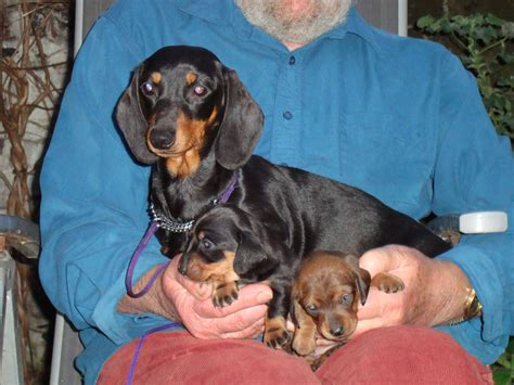 haired dachshund puppies for sale miniature smooth haired dachshund puppies for sale dover kent pets4homes
