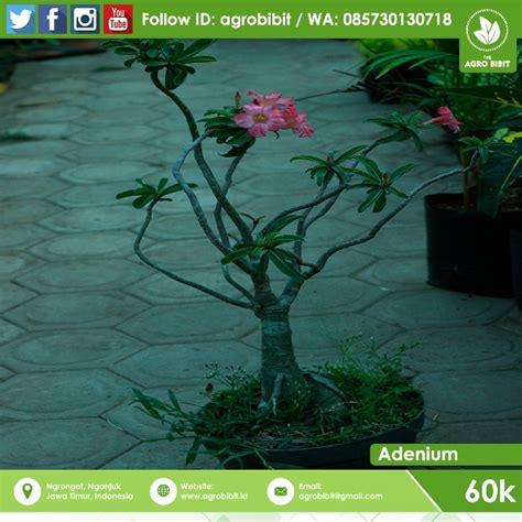 Bibit Bunga Adenium jual bibit bunga adenium warna pink agro bibit