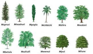 Type Of Trees by Swahili Land Aina Za Miti Types Of Trees