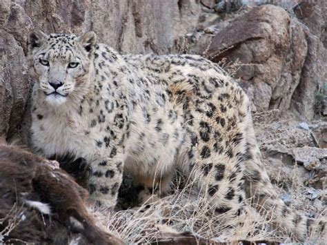 s leopard leopards moving into snow leopard mountain territory on