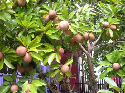 Jual Bibit Sawo Murah pusat distributor grosir eceran jual bibit tanaman sawo