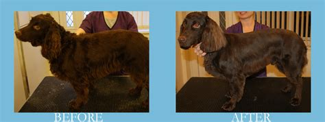 yorkie splash and shine uk yorkie grooming for show breeds picture