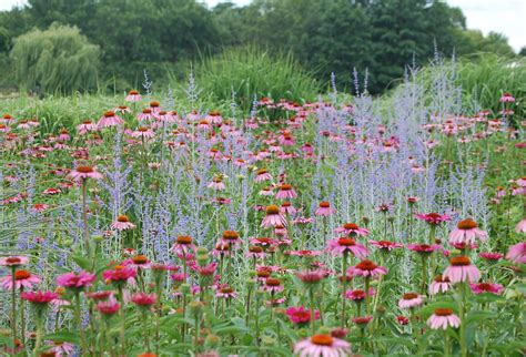 bluebeard and red poppies plus other plant combinations