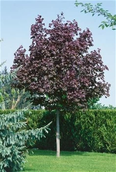 maple acer platanoides crimson king tree outdoor acer plants and gardens