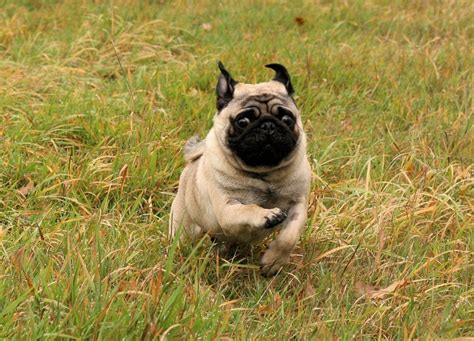 pug nose dogs pug run nature pugs snub nose breeds