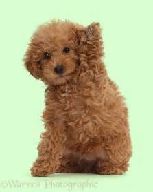 mini doodle breeders bc best 25 labradoodle ideas on
