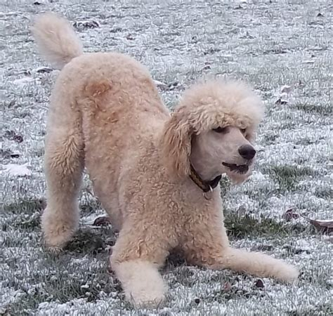 lifespan of standard poodle 2013 mix breed breeds picture