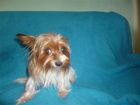 yorkies for sale in dallas yorkies for sale big