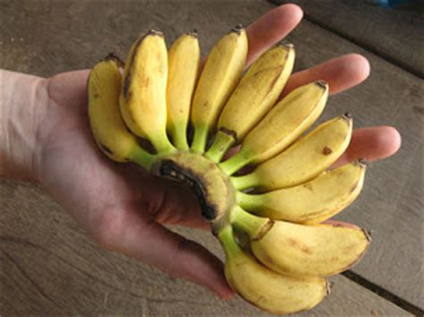 tiny banana name c c s saigon sortie fruits that i love