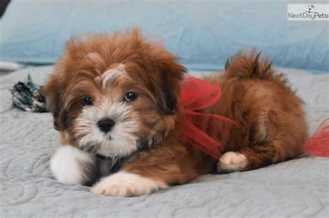 puppies for sale in fort worth malti poo maltipoo puppy for sale near dallas fort worth f3595b4d 54c1