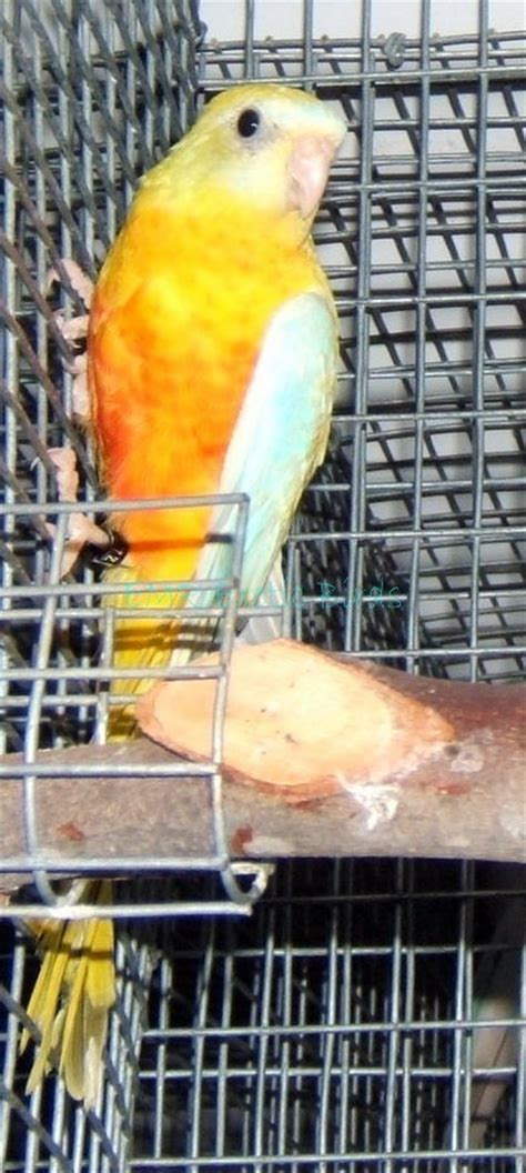 birds for sale san diego male red rump parakeet grass turquoisine parakeet 133243 for sale in san diego ca